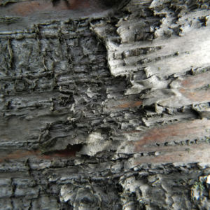 Alaska Birke Rinde Betula neoalaskana 13