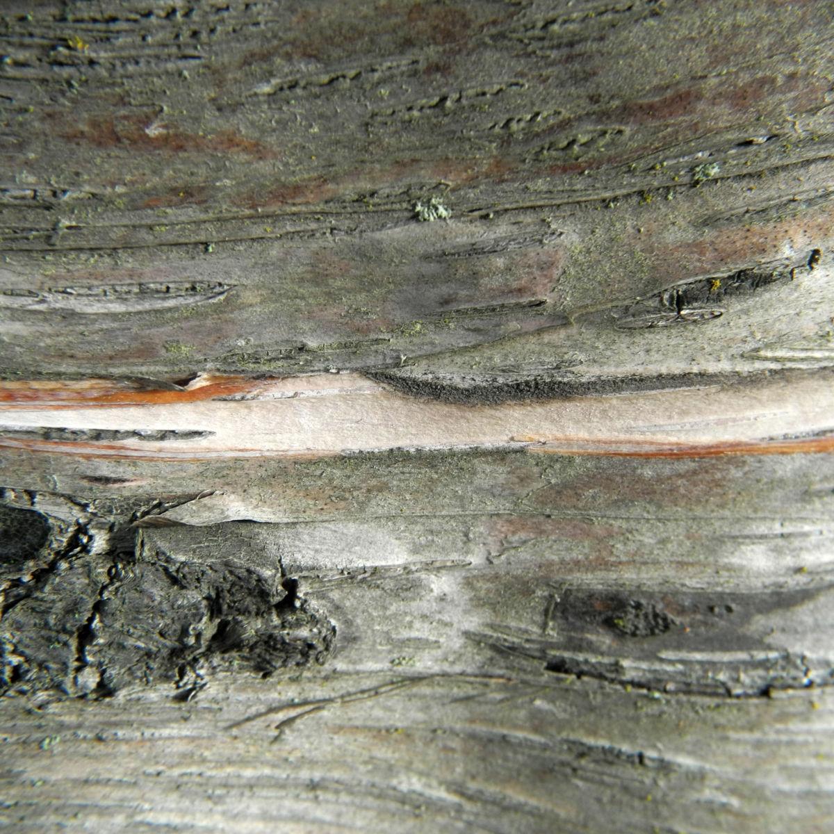 Alaska Birke Rinde Betula neoalaskana