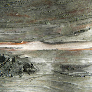 Alaska Birke Rinde Betula neoalaskana 14
