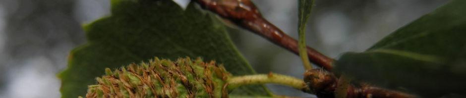 Anklicken um das ganze Bild zu sehen  Alaska Papier Birke Betula neoalaskana