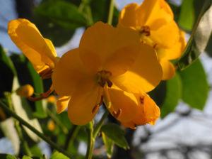 Alexandrinische Senna Bluete gelb Senna alexandrina 03