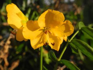 Alexandrinische Senna Bluete gelb Senna alexandrina 06