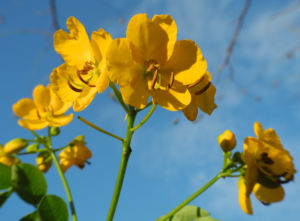 Alexandrinische Senna Bluete gelb Senna alexandrina 15