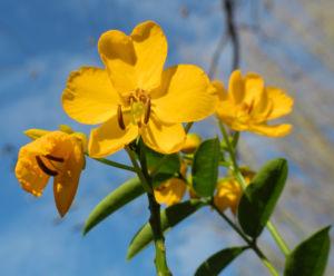 Bild: Alexandrinische Senna Bluete gelb Senna alexandrina