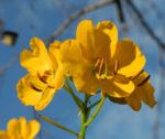 Bild:  Alexandrinische Senna Blüte gelb Senna alexandrina
