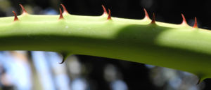 Aloe excelsa Blatt gruen Aloe excelsa 03