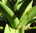 Aloe excelsa Blatt gruen Aloe excelsa 04