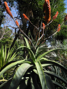 Aloe excelsa Bluete orange Aloe excelsa 10