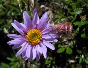 Bild: Alpen Aster Bluete lila Aster alpinus