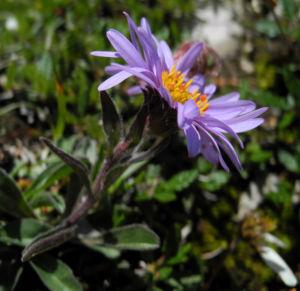 Alpen Aster Bluete lila Aster alpinus 03