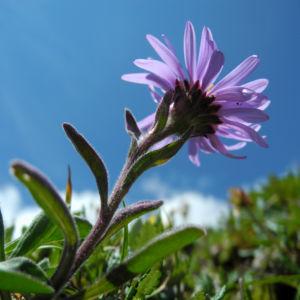 Alpen Aster Bluete lila Aster alpinus 06