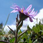 Alpen Aster Bluete lila Aster alpinus 07