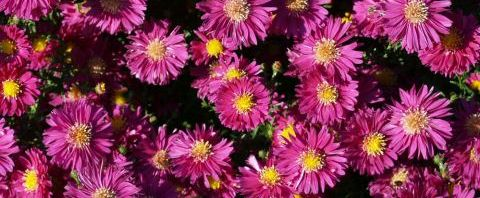 Anklicken um das ganze Bild zu sehen Alpen-Aster Blüte pink Aster alpinus