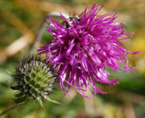 Alpen Distel Berg Distel Bluete lila Carduus defloratus 03