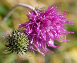 Alpen Distel Berg Distel Bluete lila Carduus defloratus 04