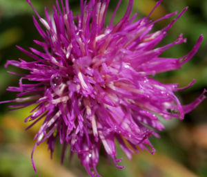 Alpen Distel Berg Distel Bluete lila Carduus defloratus 05