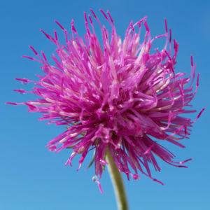 Alpen Distel Berg Distel Bluete lila Carduus defloratus 08