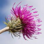 Alpen Distel Berg Distel Bluete lila Carduus defloratus 13