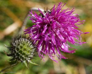 Alpen Distel Berg Distel Bluete lila Carduus defloratus 14