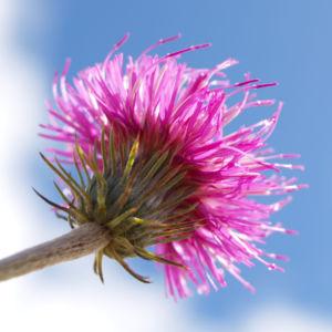 Alpen Distel Berg Distel Bluete lila Carduus defloratus 15