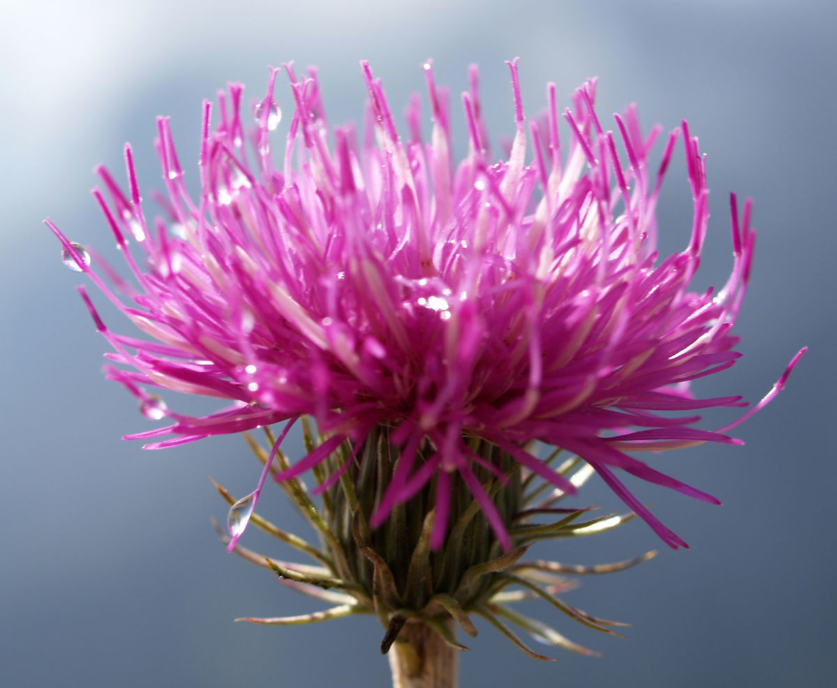 Alpen Distel Berg Distel Bluete lila Carduus defloratus