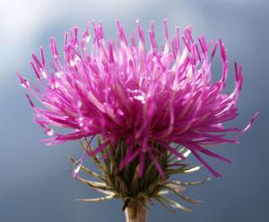 Alpen Distel Berg Distel Bluete lila Carduus defloratus 17