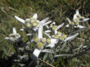 Alpen Edelweiß Bluete weiß Leontopodium nivale 21