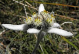 Alpen Edelweiß Bluete weiß Leontopodium nivale 22