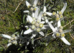 Alpen Edelweiß Bluete weiß Leontopodium nivale 23
