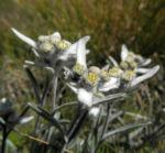Alpen Edelweiß Bluete weiß Leontopodium nivale 24