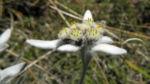 Alpen Edelweiß Bluete weiß Leontopodium nivale 25