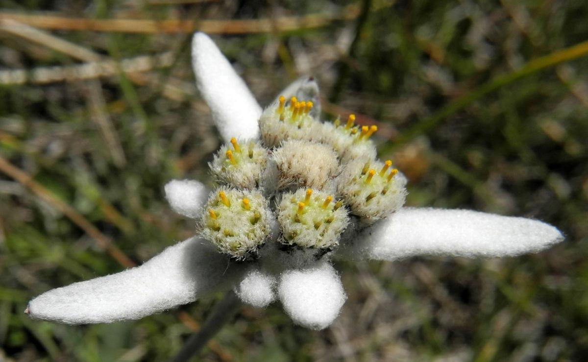 Alpen Edelweiß Bluete weiß Leontopodium nivale