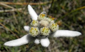 Alpen Edelweiß Bluete weiß Leontopodium nivale 26