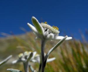 Alpen Edelweiß Bluete weiß Leontopodium nivale 28