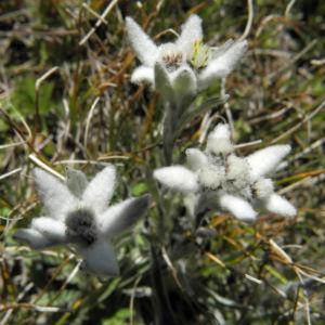 Alpen Edelweiß Bluete weiß Leontopodium nivale 33