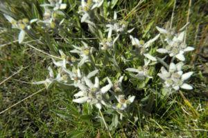 Alpen Edelweiß Bluete weiß Leontopodium nivale 38