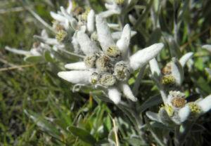 Alpen Edelweiß Bluete weiß Leontopodium nivale 40