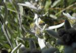 Alpen Edelweiß Bluete weiß Leontopodium nivale 42