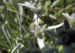 Zurück zum kompletten Bilderset Alpen-Edelweiss Leontopodium nivale