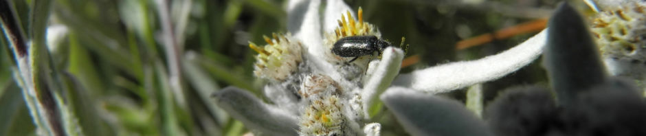 alpen-edelweiss-leontopodium-nivale