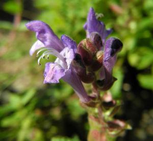 alpen helmkraut bluete blau scutellaria alpina 05