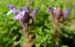 Zurück zum kompletten Bilderset Alpen-Helmkraut Blüte blau Scutellaria alpina
