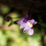 Alpen Helmkraut Bluete weiss pink Scutellaria alpina 02