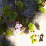 Alpen Helmkraut Bluete weiss pink Scutellaria alpina 03