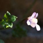 Alpen Helmkraut Bluete weiss pink Scutellaria alpina 03 1