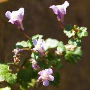 Alpen Helmkraut Bluete weiss pink Scutellaria alpina 04