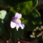 Alpen Helmkraut Bluete weiss pink Scutellaria alpina 05