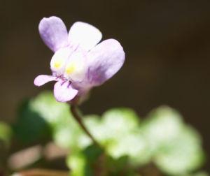 Alpen Helmkraut Bluete weiss pink Scutellaria alpina 06