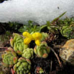 Alpen Hornklee Bluete gelb Lotus alpinus 24