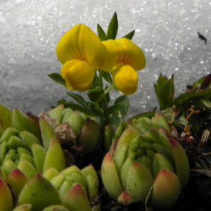 Alpen Hornklee Bluete gelb Lotus alpinus 27